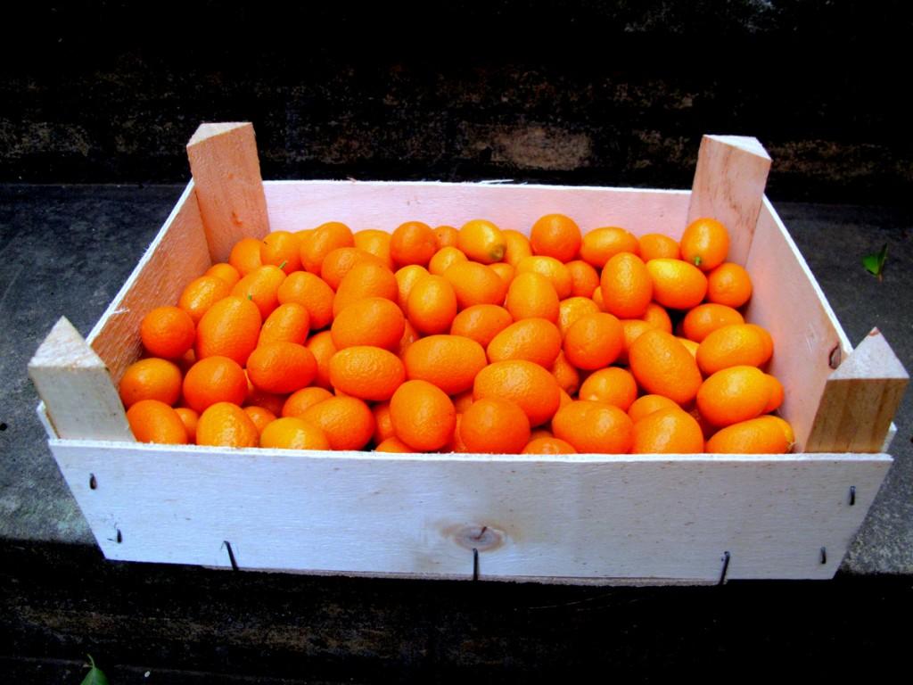 Kumquat San Eusebio