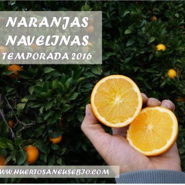 Inicio de la temporada de naranjas navelinas.