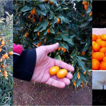 Empezamos la recolección de Kumquats… y una lista de recetas