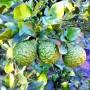 Frutos lima kaffir huerto san eusebio