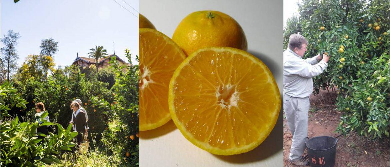 Mandarinas Huerto San eusebio