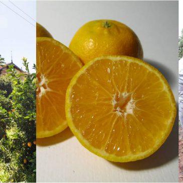 Inicio temporada de mandarinas!