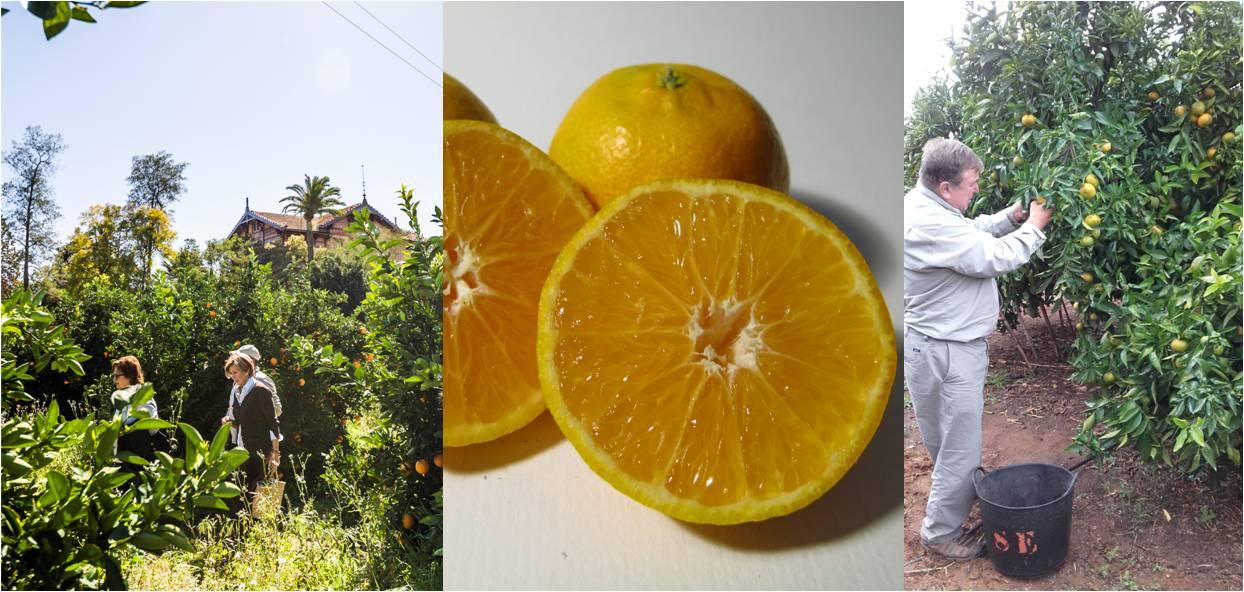 mandarinas huerto san eusebio 2017