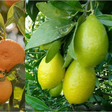 Inicio temporada de kumquats, limequats y calamondín ecológicos