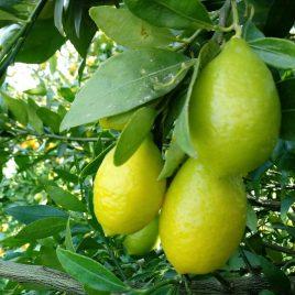 Limequat 500 g