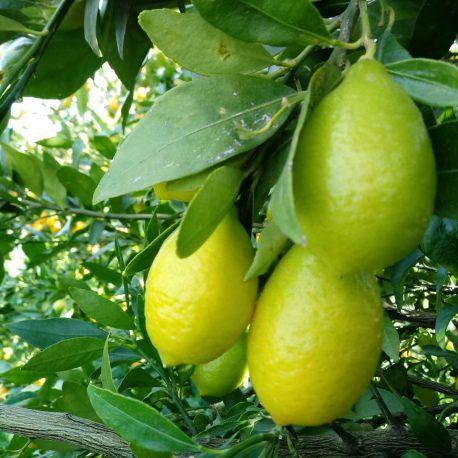 limequat huerto san eusebio
