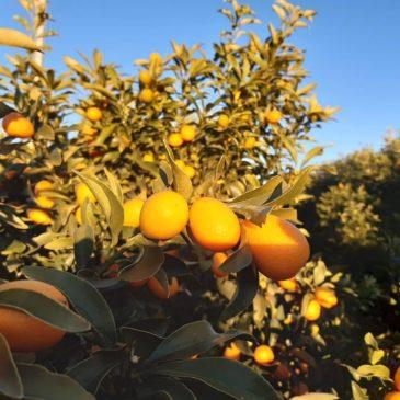 Inicio temporada de kumquats ecológicos