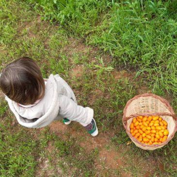 Fin de la temporada de naranjas ecológicas